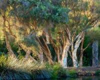 Paper Bark Trees in Western Australian Swamp Royalty Free Stock Images