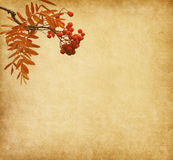 Paper with the berries of a Rowan tree. Royalty Free Stock Photography