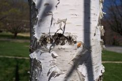 Paper birch bark. With insect eggs Royalty Free Stock Photography