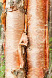 Paper birch Betula neoalaskana bark background Royalty Free Stock Photography