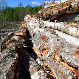 Paper Birch (Betula papyrifera) on Log Landing Stock Photos