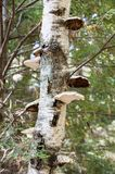Paper Birch mushrooms. Paper Birch trunk hosting collection of mushrooms Stock Image