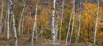 Paper birch trees stock images