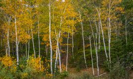 Paper Birch Trees with Yellow Leaves Stock Photo