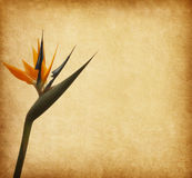 Paper with Bird of paradize flower. Old paper with Bird of paradize flower (Strelitzia&#x29 Stock Images