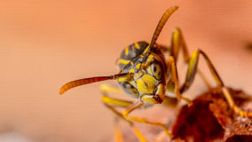 Paper black jacket wasp extreme close up Royalty Free Stock Images