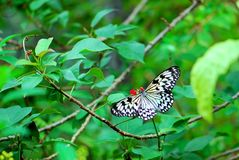 Paper or Ceylon Tree-Nymph butterfly Royalty Free Stock Image