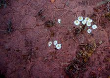 Paper Daisies and Cracked Mud Royalty Free Stock Photography