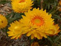 Paper daisy stock photography
