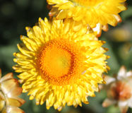 Paper daisy, golden everlasting. Paper flower, straw daisy, Helichrysum bracteatum, Xerochrysum bracteatum, ornamental herb with paper-like mostly golden royalty free stock images