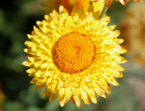 Paper daisy, golden everlasting Royalty Free Stock Image