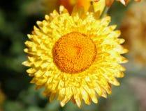 Paper daisy, golden everlasting. Paper flower, straw daisy, Helichrysum bracteatum, Xerochrysum bracteatum, ornamental herb with paper-like mostly golden royalty free stock image