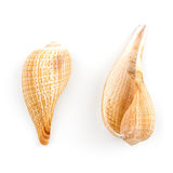 Paper Fig Shell  (Ficus Gracilis) Stock Image