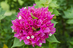 Colorful Kertas flower in the Garden.Paper Flower Stock Image
