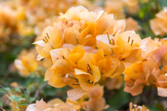 Paper flower. Bougainvillea   spp.,NYCTAGINACEAE,orange flower close up Stock Images