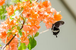 Paper flowers or Bougainvillea and butterfly Stock Photo