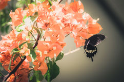 Paper flowers or Bougainvillea and butterfly vintage Royalty Free Stock Photography