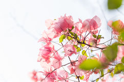 Paper flowers or Bougainvillea Royalty Free Stock Photos