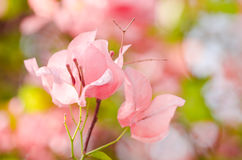 Paper flowers or Bougainvillea Stock Images