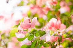 Paper flowers or Bougainvillea Royalty Free Stock Image