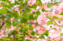 Paper flowers or Bougainvillea Royalty Free Stock Photography