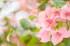 Paper flowers or Bougainvillea Royalty Free Stock Images