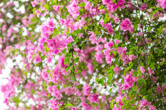 Paper flowers or Bougainvillea Stock Photos