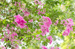 Paper flowers or Bougainvillea Stock Photo