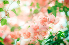 Paper flowers or Bougainvillea vintage Stock Photos