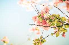 Paper flowers or Bougainvillea vintage Royalty Free Stock Images