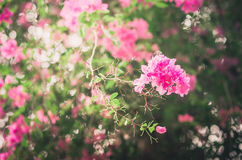 Paper flowers or Bougainvillea vintage Stock Images
