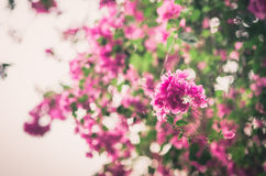 Paper flowers or Bougainvillea vintage Royalty Free Stock Photos