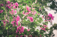 Paper flowers or Bougainvillea vintage Stock Photo