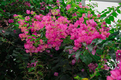 Paper Flowers. A group of bright pink Bougainvillea Paper Flowers hanging amidst green leaves in a greenhouse Stock Image