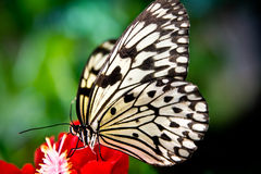 The paper kite butterfly. Idea leuconoe sitting on a red flower Stock Photos