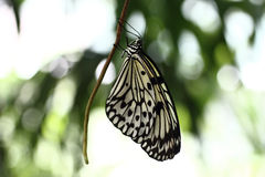 Paper Kite Butterfly. Hanging on a stem Stock Image