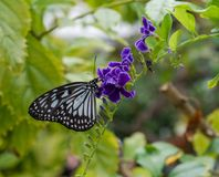 Paper Kite Butterfly Clings to a Branch. A paper kite butterfly lands on a green branch with purple flowers Royalty Free Stock Images