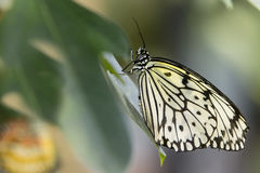 Paper Kite Butterfly, Closeup Stock Images