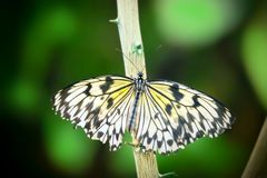 Paper Kite Butterfly Detail Idea Leuconoe Royalty Free Stock Photography