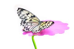 Paper Kite Butterfly detail Idea leuconoe Stock Photo
