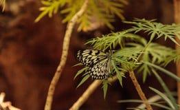 Paper kite butterfly, Idea leuconoe Royalty Free Stock Image