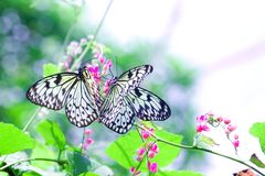 Paper Kite butterfly ''Idea leuconoe ''  enjoying Stock Photo