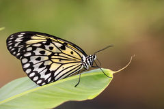 Paper Kite butterfly / Idea leuconoe on green leaf Stock Photos