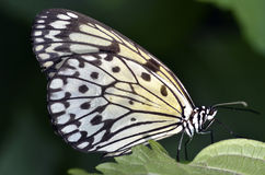 Paper kite butterfly on leaf Stock Image