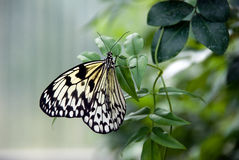Paper Kite butterfly on plant Stock Photos