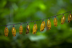 Paper Kite Butterfly Pupae Royalty Free Stock Photography
