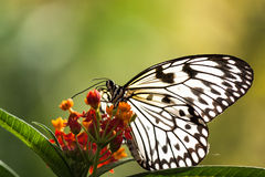 Paper Kite Butterfly. A paper kite butterfly resting while feeding on flowers stock image