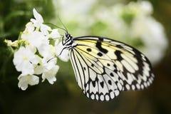 Paper Kite consuming nectar Royalty Free Stock Photos