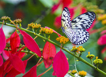 Paper Kite, (Idea Leuconoe) Stock Photos