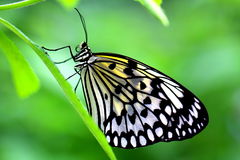 The Paper Kite Or Rice Paper Or Large Tree Nymph Butterfly Also Known As Idea Leuconoe Royalty Free Stock Image